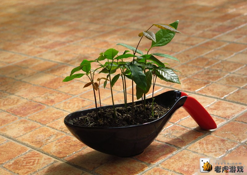 桂圆子的盆栽方法